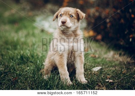 Amazing Brown Puppy With Amazing Blue Eyes On Background Of Autumn Park. Space For Text. Faithful Fr