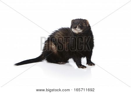 Nice black ferret on white background posing for portrait in studio