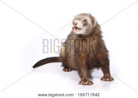 Pretty chocolate ferret on white background posing for portrait in studio