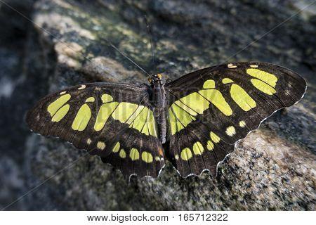 Malachite butterfly  (Siproeta stelenes) close up, detail.