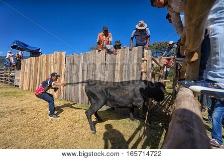 August 13 2016 Ibarra Ecuador: a bull is pulled into the ring by its tail during a rodeo in La Esperanza