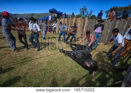 August 13 2016 Ibarra Ecuador: a bull is pulled into the ring with rope during a rodeo in La Esperanza