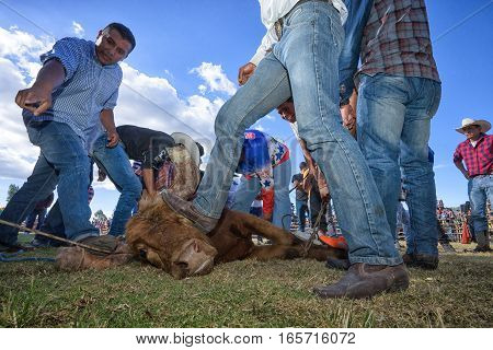 August 13 2016 Ibarra Ecuador: man steps on bull's head to restrtrain it while horn protectors are installed during a local rodeo in La Esperanza