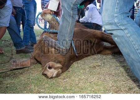 August 13 2016 Ibarra Ecuador: man steps on bull's head to restrtrain it during a local rodeo in La Esperanza