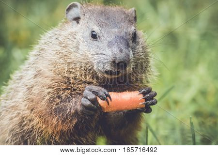 Funny cute expression on young Groundhog (Marmota Monax) holding a carrot like a corn cob