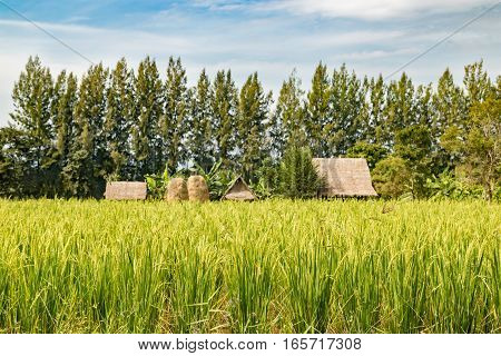 Rice field with hut and straw background