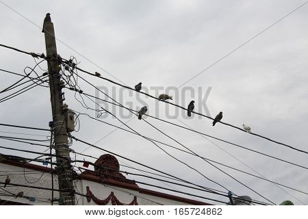 Many pigeons on an electric wires. Doves sitting on a power lines.