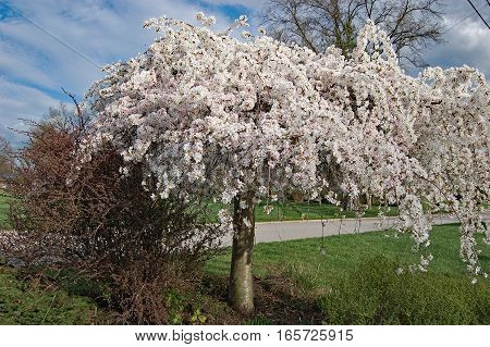 Weeping Japanese Cherry tree covered in white flowers