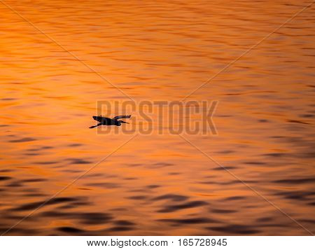 Little Chinese Egret Bird Fly Over The Sea, In Sunset Light