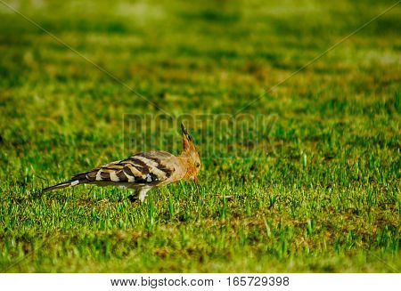 Woodpecker on the grass in Forest Thailand