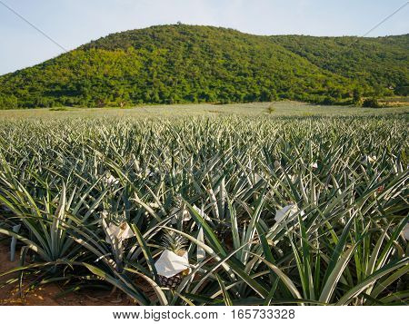 ​The landscape of pineapple farm with mountain