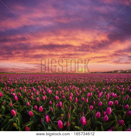 Beautuful Sunrise Over Field Of Tulips