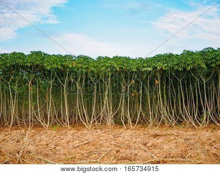 The Cassava (manioc, tapioca or yuca) field