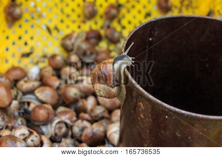 Lots of edible Burgundy snails at marketplace in Tunisia