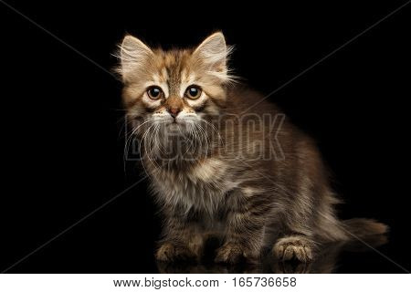 Brown Siberian kitty Crouch and looking Curious face on isolated black background with reflection, front view