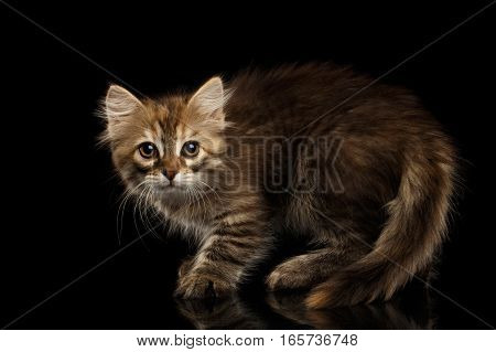Crafty Brown Siberian kitty Crouch and looking camera on isolated black background with reflection, side view on furry tail
