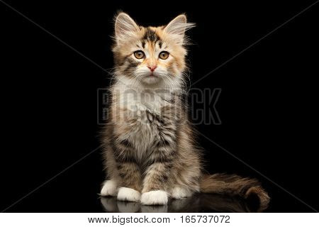 Ginger with brown Tabby Siberian female kitty sitting and looking in camera on isolated black background with reflection, front view