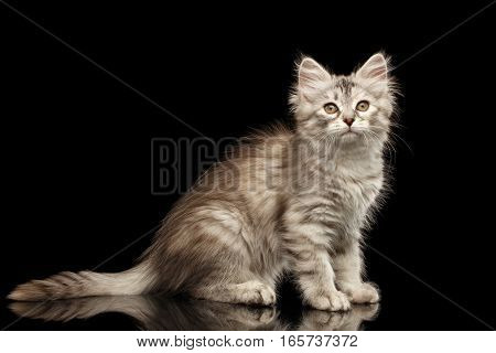 Silver Tabby Siberian kitty with furry coat sitting on isolated black background with reflection, side view