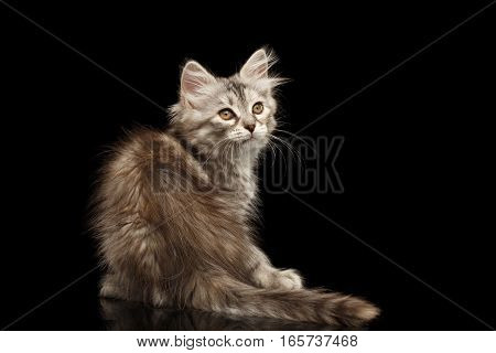 Silver Tabby Siberian kitty with furry coat sitting and looking up on isolated black background with reflection, back view