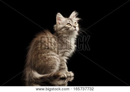 Silver Tabby Siberian kitty with furry coat sitting and looking up on isolated black background with reflection, side view