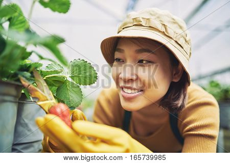 Smiling Vietnamese woman in panama and rubber gloves picking up strawberries