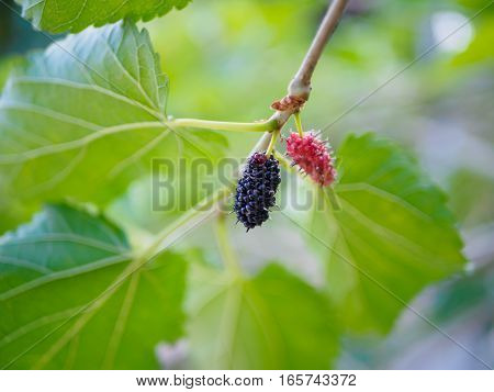mulberry black and red fruit with green leaf