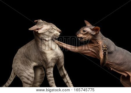 Closeup Two Peterbald Cats, family Fight, hairless and silver, female attack male, isolated black background