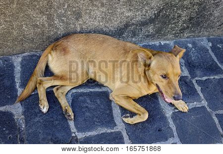 Brown Dog Lying On Stone Road