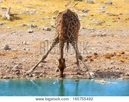 Thirsty giraffe drinking from waterhole in typical pose with wide spread legs, Etosha National Park, Namibia, Africa.