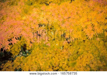 Colorful Red Maple Leaf Vibrant Tree in Autumn