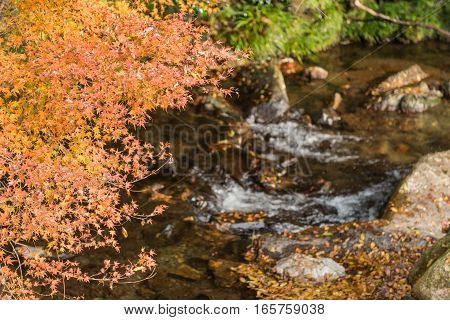 Branch of red maple over the river