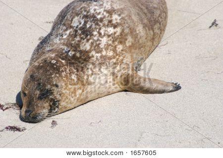 Lying Seal