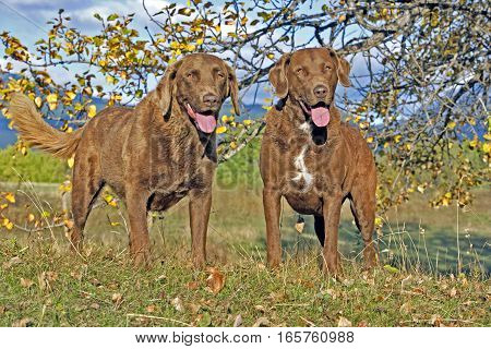 Chesapeake Bay Retriever two standing on grass by tree in autumn colors