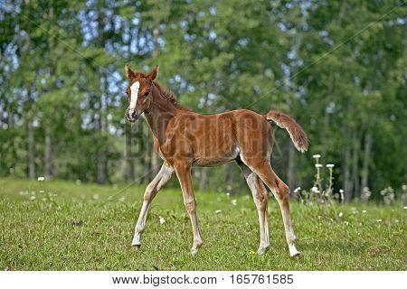 Chestnut Arabian Foal few weeks old walking at pasture