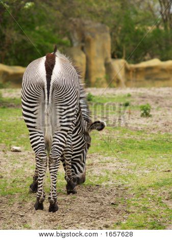 the backside of a Grevy's Zebra (equus grevyi) grazing on grass poster