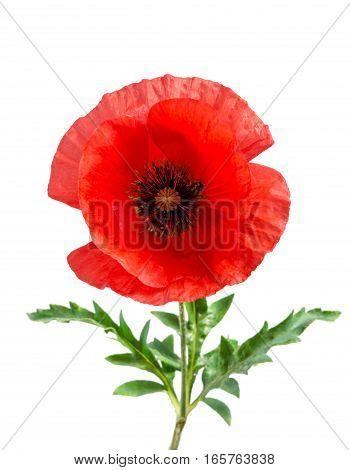 Bud Of Single Red Poppy