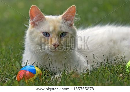 White Siamese Cat with ginger markings in grass with toy