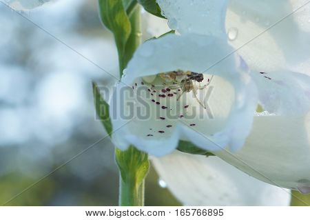 Transparent spider sitting in a white flower with purple speckles after the rain