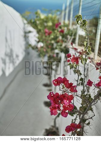 Pink flowers on a white fence at the street full of sunlight