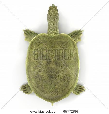 Top view Chinese softshell turtle Pelodiscus sinensis on white background. 3D illustration