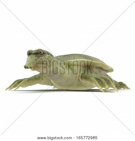 Chinese soft-shelled turtle on white background. 3D illustration