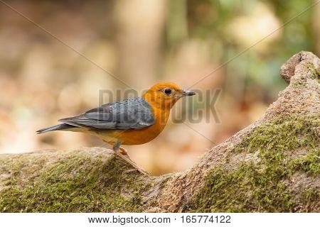 Orange-headed Thrush bird stand on tree root