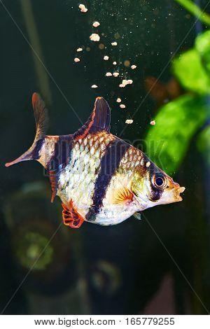 Feeding Aquarium Fish - Barbus Puntius Tetrazona