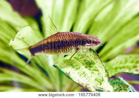 Aquarium Fishes - Siamese Algae