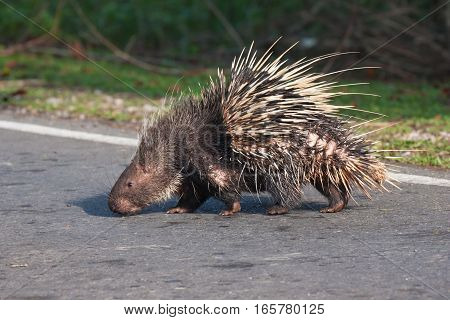 The porcupine walking to across the asphalt street