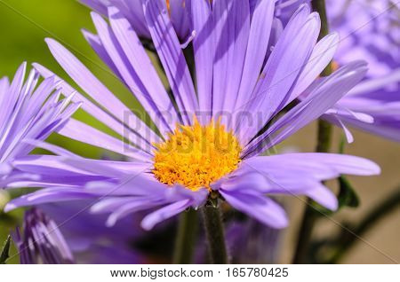 Aster with delicate violet petals and yellow core of flower