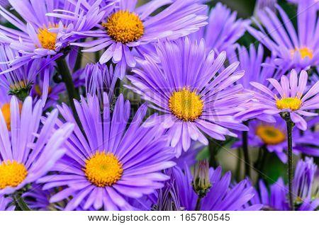 Dense shrub aster with thin violet petals