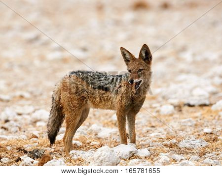 Wild Black backed jackal photographed in Namibia
