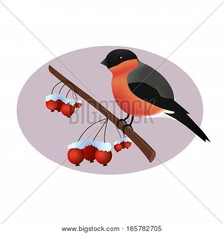 Bullfinch on wild arrle tree branch.Bullfinch vector illustration.