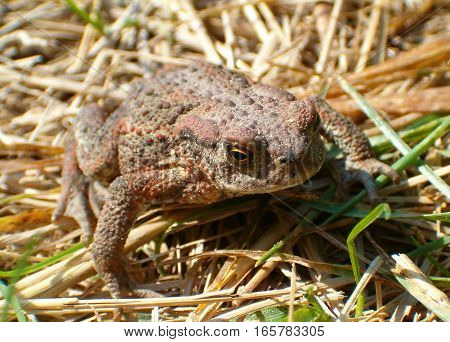Picture of a little brown toad sitting in the grass